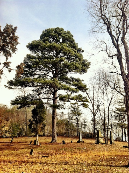 View of State Record Pitch Pine, with the graves of David Gharky and Dr. Thomas Waller (2013).